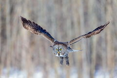 Great Grey Owl. Royalty Free Stock Image