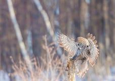 Great Grey Owl. Stock Image
