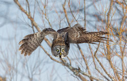 Great Grey Owl. Stock Photo