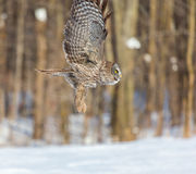 Great Grey Owl. Royalty Free Stock Photography