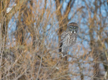 Great Grey Owl. Stock Photography