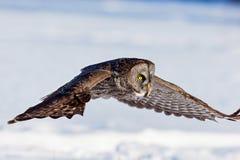 Great Grey Owl. Royalty Free Stock Photo
