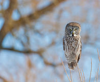 Great Grey Owl. Royalty Free Stock Images