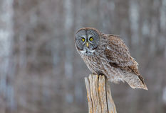Great Grey Owl. The great grey owl in the golden light. The great gray is a very large bird, documented as the world`s largest species of owl by length. Here it Stock Image