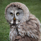 Great grey owl. Great grey, gray owl Strix nebulosa, portrait staring forward against a clear background Royalty Free Stock Images