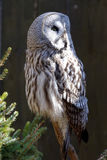 Great Grey Owl. Or Great Gray Owl (Strix nebulosa) is a very large owl, documented as the world's largest species of owl, they are distributed across the royalty free stock image