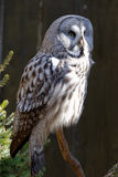 Great Grey Owl. Or Great Gray Owl (Strix nebulosa) is a very large owl, documented as the world's largest species of owl, they are distributed across the royalty free stock photos
