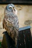 The great grey owl or great gray owl - Strix Royalty Free Stock Image