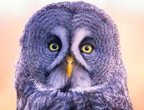 Great Grey Owl. A Great Grey owl sitting on a tree Stock Photos