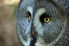 Great grey owl. Strix nebulosa head and neck looking to the left with right side of facial disc in focus and the left side defocussed. Blurred background royalty free stock photography