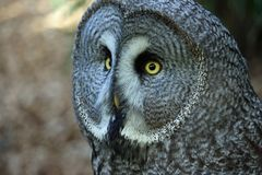Great grey owl. Strix nebulosa head and neck looking to the left with right side of facial disc in focus and the left side defocussed. Blurred background royalty free stock image