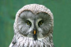 Great grey owl green Background royalty free stock image