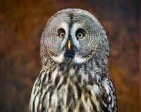 Great grey owl head shot Royalty Free Stock Image