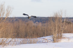 Great grey owl (Strix nebulosa) hunting over a snow covered field in Canada royalty free stock photo
