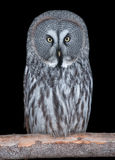 Great Grey Owl isolated on black Royalty Free Stock Images