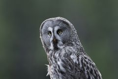 Great grey owl Strix nebulosa. Great grey owl in its natural habitat in sweden stock images
