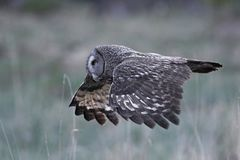Great grey owl Strix nebulosa. Great grey owl in its natural habitat in sweden stock image