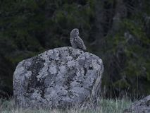 Great grey owl Strix nebulosa. Great grey owl in its natural habitat in sweden stock photography