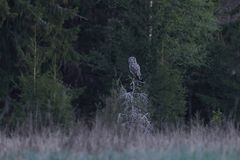 Great grey owl Strix nebulosa. Great grey owl in its natural habitat in sweden royalty free stock photography