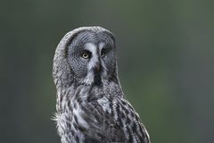 Great grey owl Strix nebulosa. Great grey owl in its natural habitat in sweden royalty free stock photos