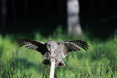 Great Grey Owl Landing on Post Royalty Free Stock Images