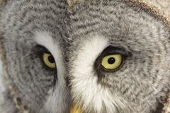 Great Grey Owl or Lapland Owl Stock Photography