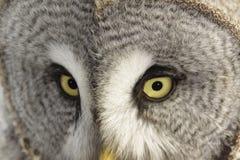 Great Grey Owl or Lapland Owl. Eyes of beautiful owl lat. Strix nebulosa stock photography