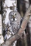 Great Grey Owl or Lapland Owl lat. Strix nebulosa Royalty Free Stock Photo
