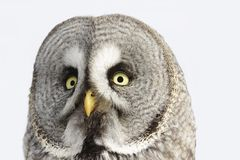 Great Grey Owl or Lapland Owl lat. Strix nebulosa Stock Image
