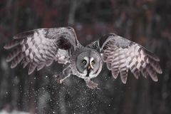 Great Grey Owl or Lapland Owl lat. Strix nebulosa Royalty Free Stock Photography