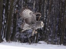 Great Grey Owl or Lapland Owl lat. Strix nebulosa Royalty Free Stock Image