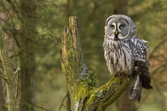 The Great Grey Owl or Lapland Owl, Strix nebulosa Royalty Free Stock Images