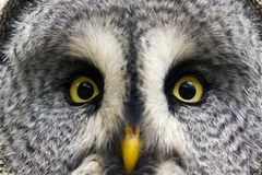 The Great Grey Owl or Lapland Owl, Strix nebulosa Stock Photos