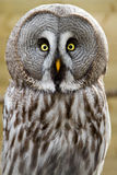 The Great Grey Owl or Lapland Owl, Strix nebulosa Royalty Free Stock Image