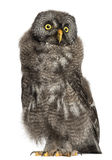 Great Grey Owl or Lapland Owl, Strix nebulosa. 2 months old against white background stock images