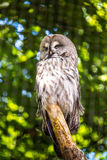 The Great Grey Owl or Lapland Owl, Strix nebulosa Stock Photo