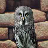 Great Grey Owl or Lapland Owl. Or Strix nebulosa stock images