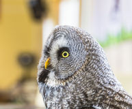 The Great Grey Owl or Lapland Owl, Strix nebulosa Stock Photography