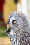 The Great Grey Owl or Lapland Owl, Strix nebulosa Royalty Free Stock Photo