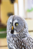 The Great Grey Owl or Lapland Owl, Strix nebulosa Stock Image