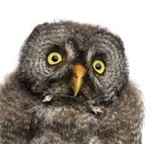 Great Grey Owl or Lapland Owl, Strix nebulosa, 2 months old against white background stock image