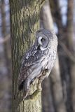 Great Grey Owl or Lapland Owl. Strix nebulosa perching on the branch during day royalty free stock images
