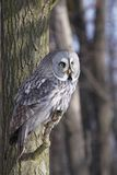 Great Grey Owl or Lapland Owl. Strix nebulosa perching on the branch during day stock photo