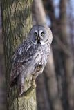 Great Grey Owl or Lapland Owl. Strix nebulosa perching on the branch during day stock images