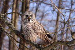 Great Grey Owl or Lapland Owl. Strix nebulosa perching on the branch during day stock photos