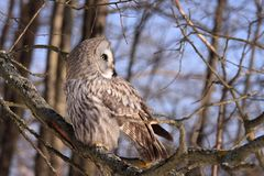 Great Grey Owl or Lapland Owl. Strix nebulosa perching on the branch during day royalty free stock photos