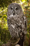 The Great Grey Owl Stock Photo