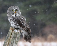 Great Grey Owl Looking. A Great Grey Owl (Strix nebulosa) looking up, while perched on a stump with snow falling in the background stock image