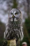 Great Grey Owl on the lookout. Great Grey Owl Strix nebulosa, bird of prey Royalty Free Stock Photo