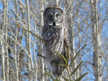 Great Grey Owl. A great grey owl looks down in its realm and hunts in search of mice and voles Royalty Free Stock Photo